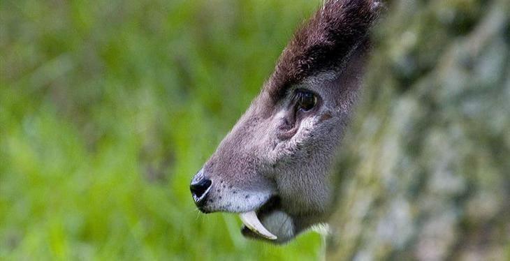 Хохлатые олени