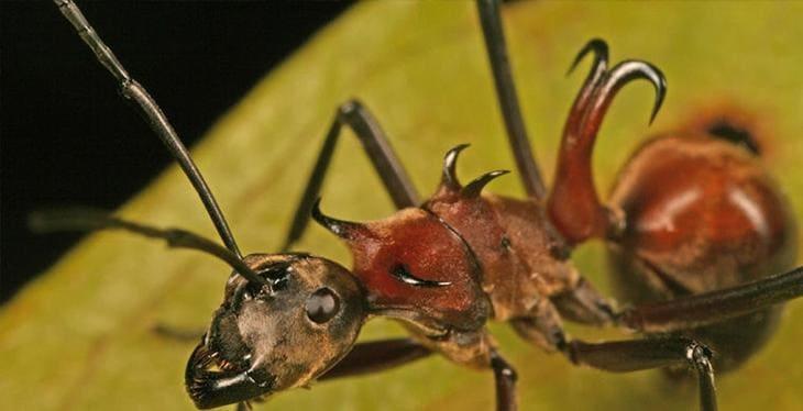 Азиатские муравьи
