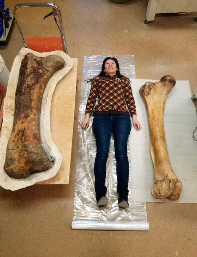 Кость трицератопса (слева) и слоновья кость (справа) в человеческом масштабе