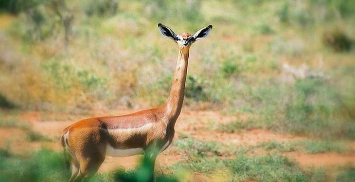 антилопу геренук