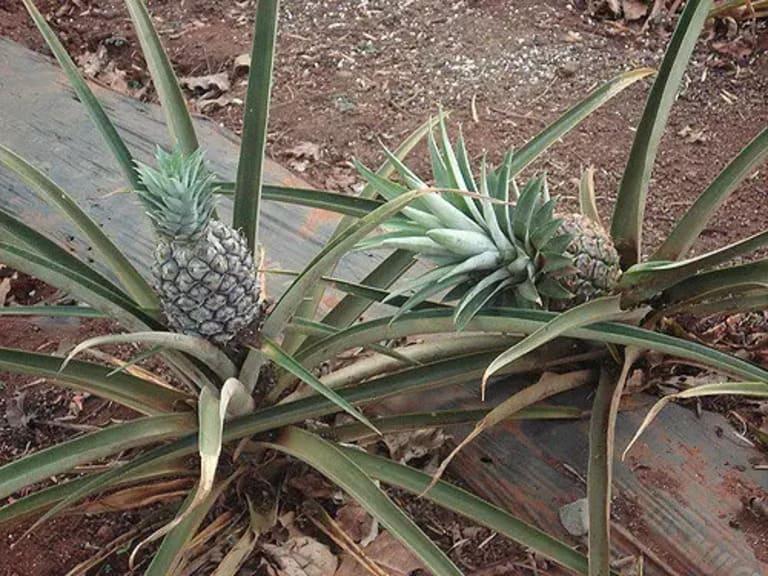 ананасы растут из земли