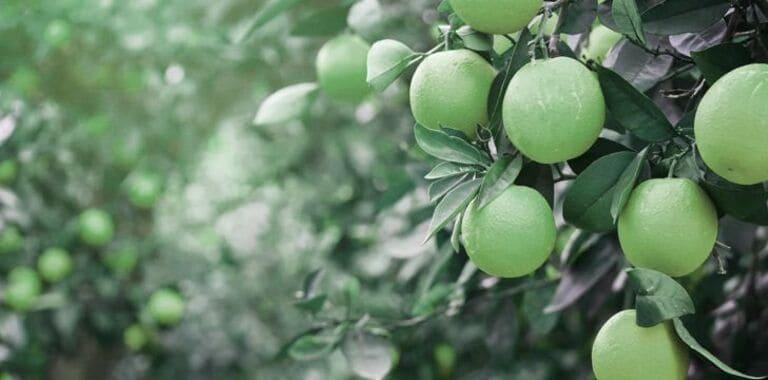 Апельсины изначально были зелеными