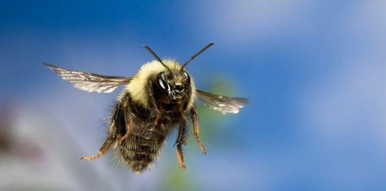 Пчелы могут летать выше Эвереста!