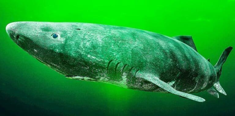 Есть акулы, которые могут жить до 500 лет