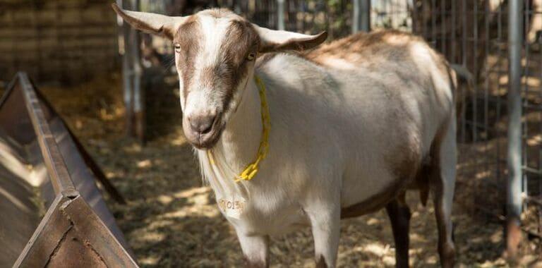 Ученые генетически модифицировали коз, чтобы они из вымени давали паучий шелк