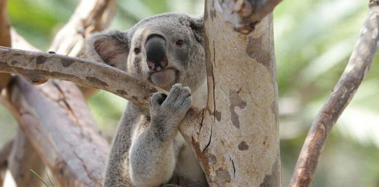 У коал есть уникальные отпечатки пальцев