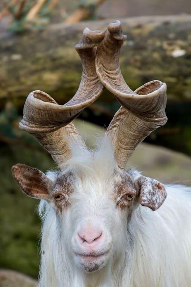2. Винторогий козёл
