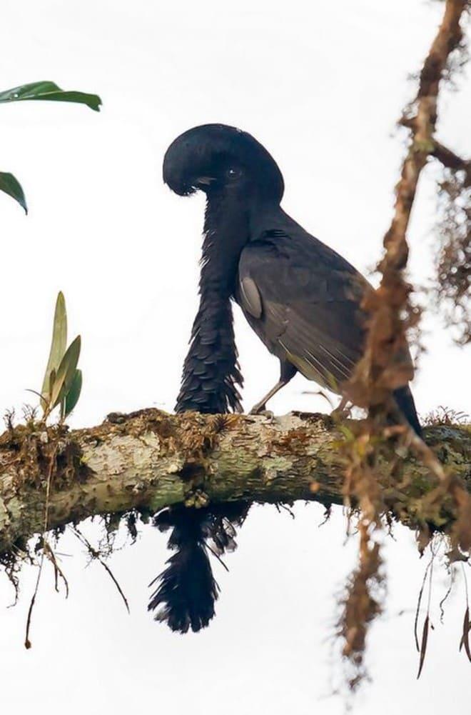 8. Эквадорская зонтичная птица