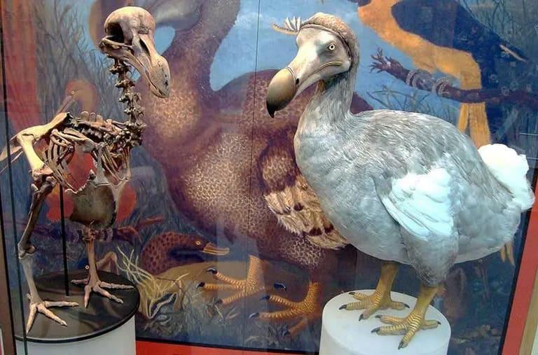 Додо птица, или маврикийский дронт