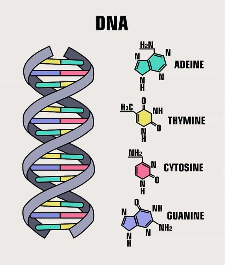 Химические строительные блоки - ДНК