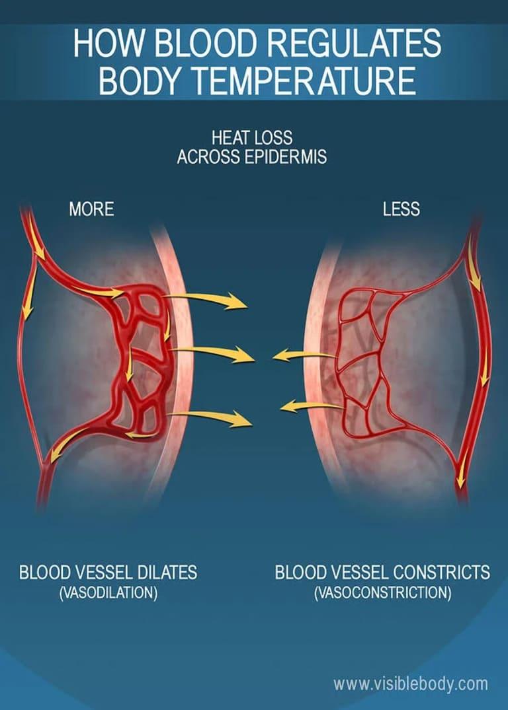 Кровь регулирует температуру тела