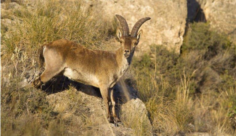 Пиренейский козерог