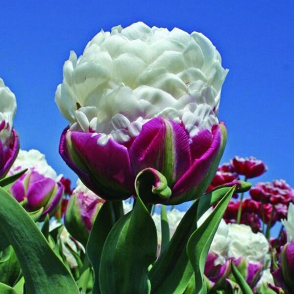 Тюльпан «Айс крим»