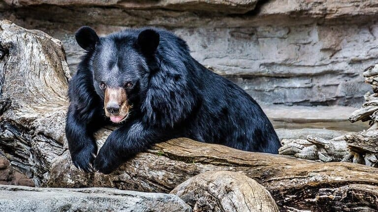 Черная медведица