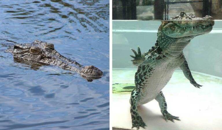 Крокодил в естественном состоянии под водой
