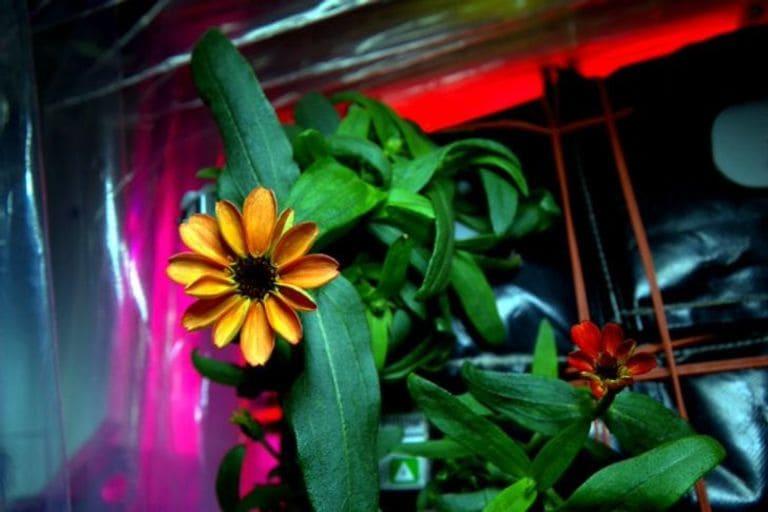 Цветок, выращенный на МКС