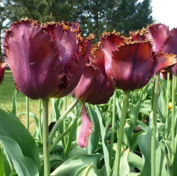 Тюльпан Блек Джевел