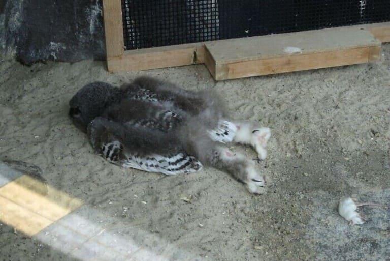 совята спят на животе