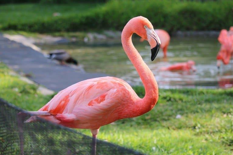 5. Почему фламинго розовые?