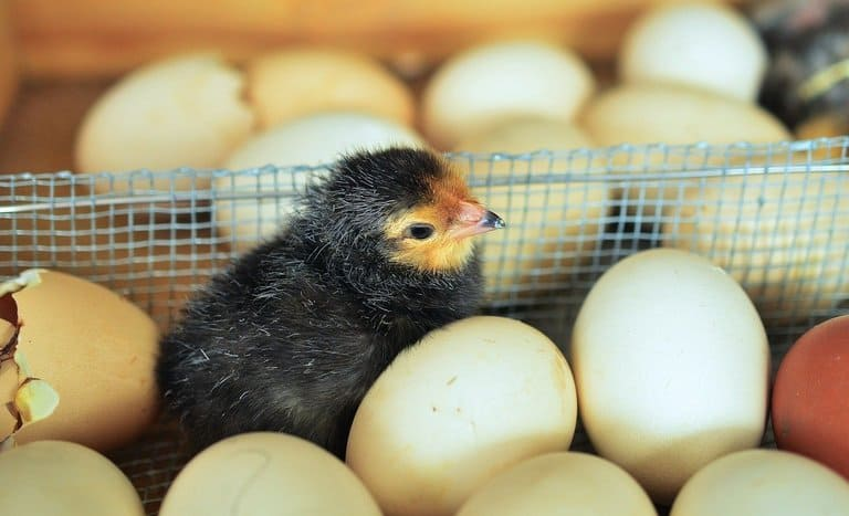 7. Что было первым: курица или яйцо?