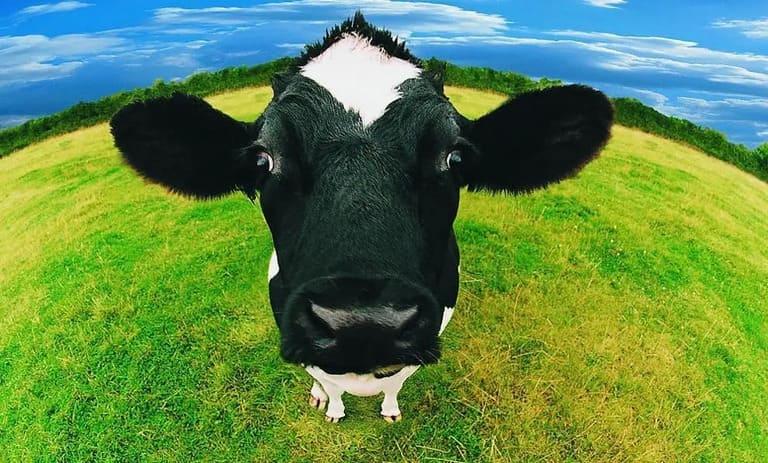 Налог на метеоризм у коров