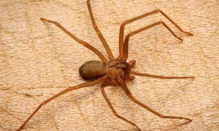 Укус коричневого паука отшельника