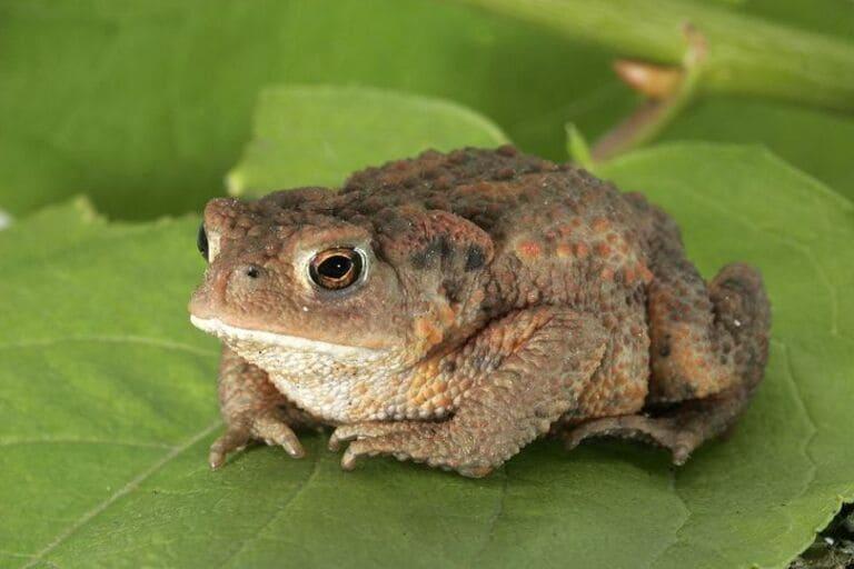 самцы жаб