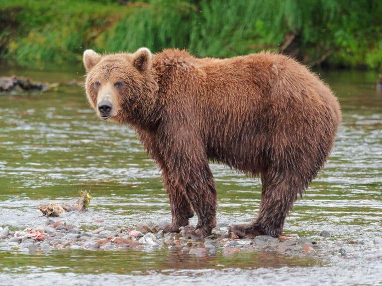 запрещено бороться с медведем