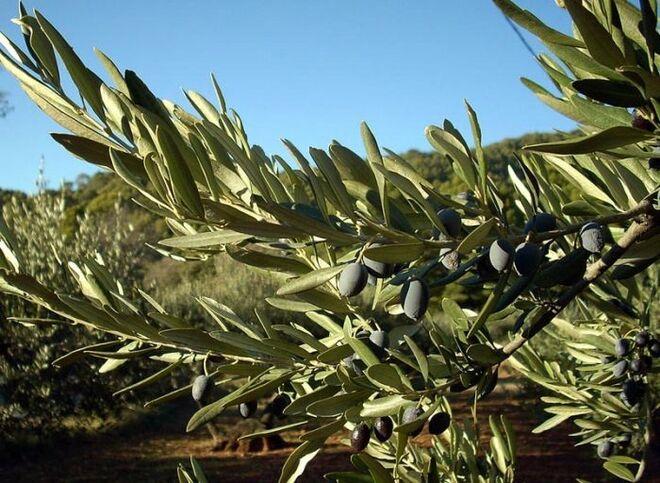 Как растут оливки