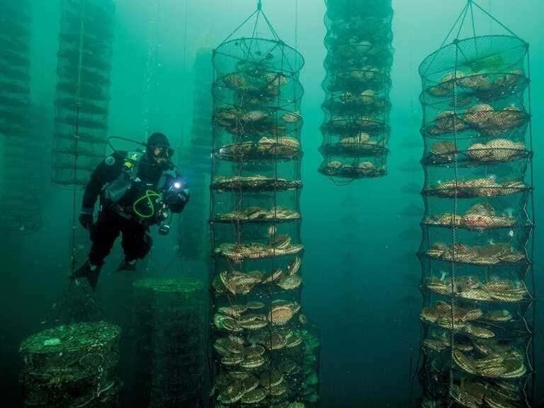 Как выглядит ферма по выращиванию морских гребешков