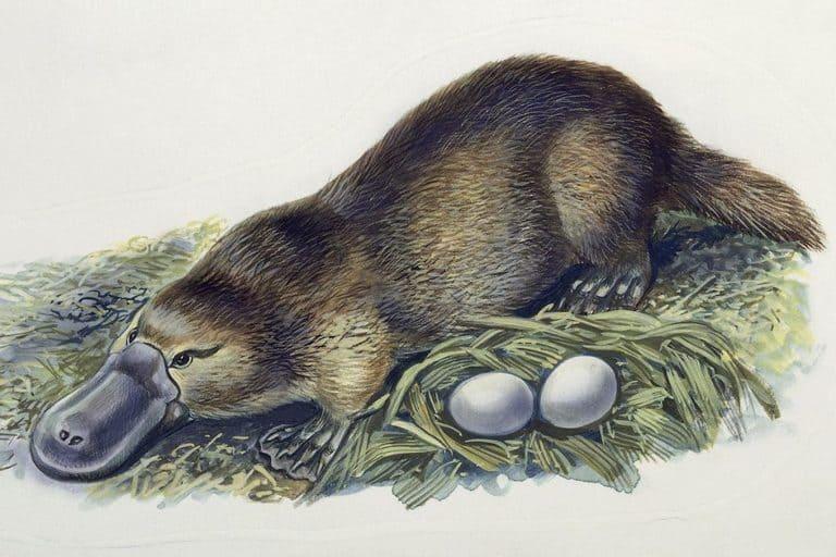 яйцекладущими млекопитающими