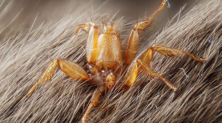 Nycteribiidae и Streblidae (1)