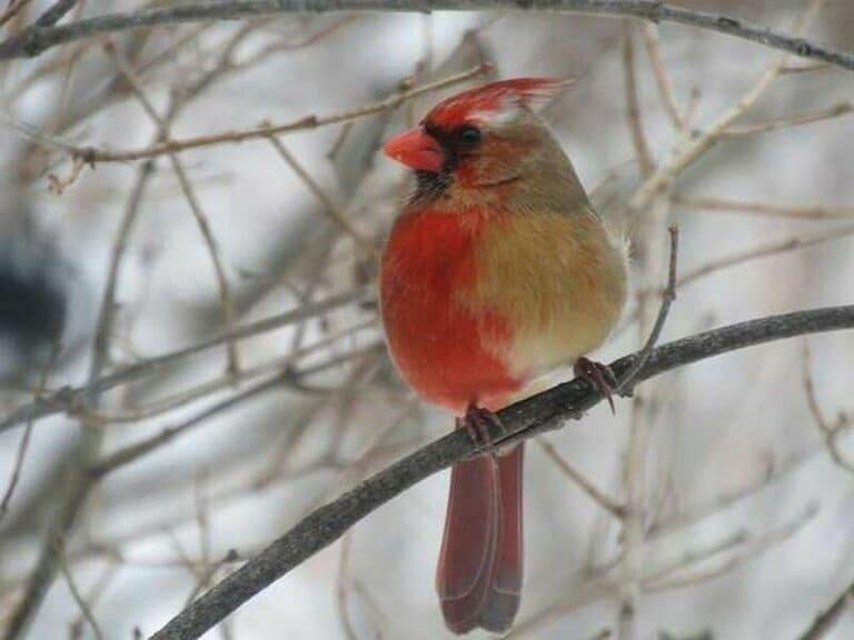 Самец виргинского кардинала красно серый