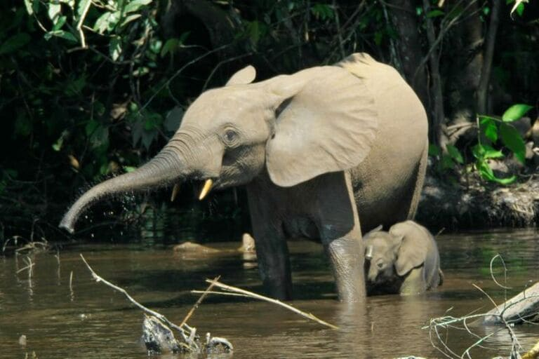 Самки слонов