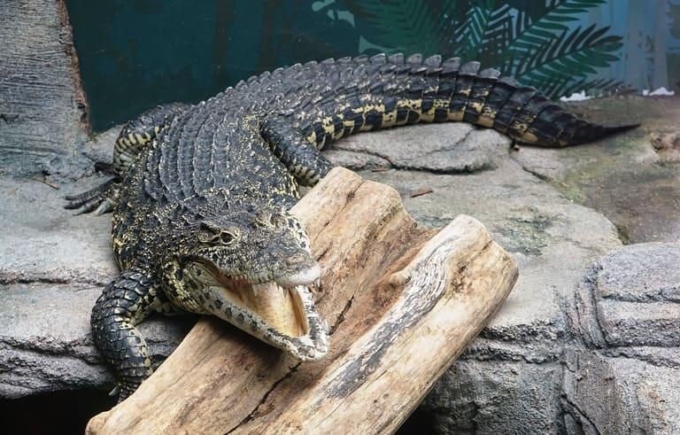 крокодилы могут лазить по деревьям