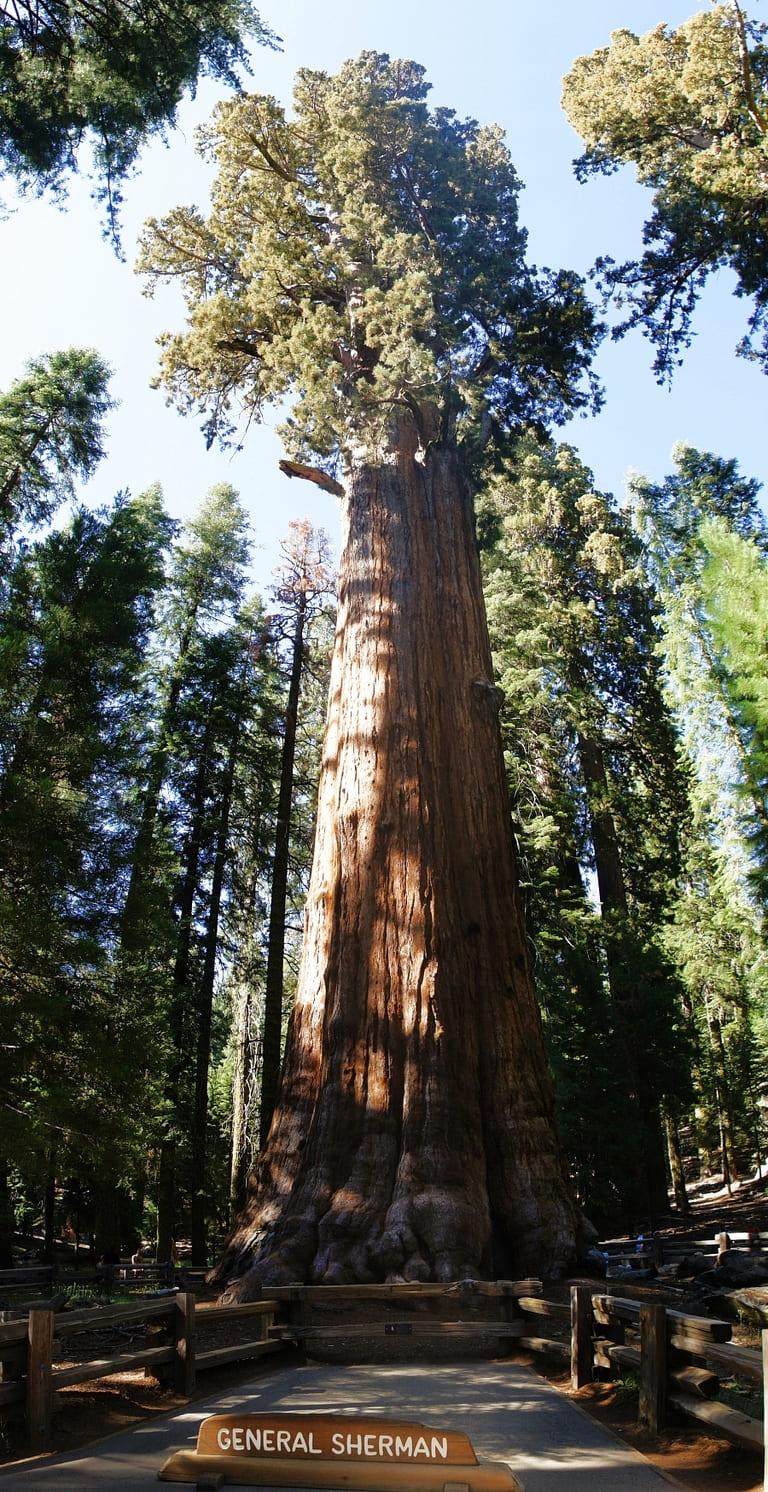 Крупнейшее дерево - Генерал Шерман