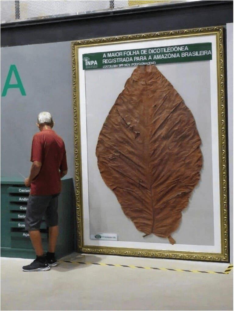Крупнейший лист двудольного растения