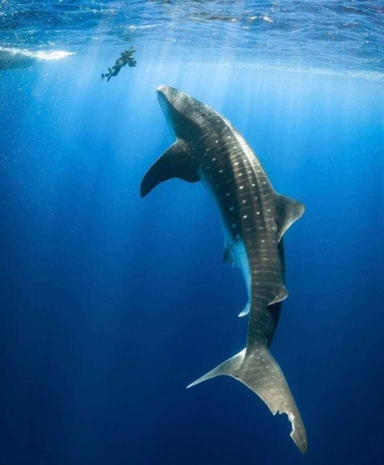 Размер китовой акулы