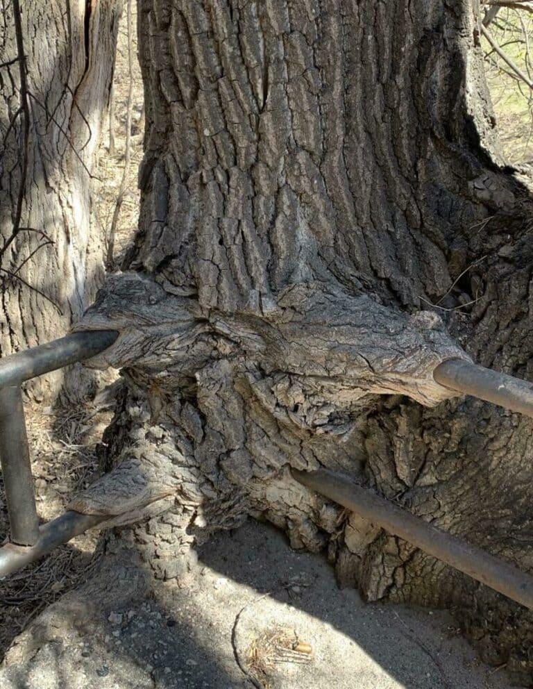 дерево переросло через перила