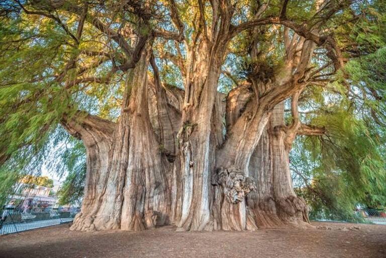 Arbol del Tule — самое толстое дерево в мире
