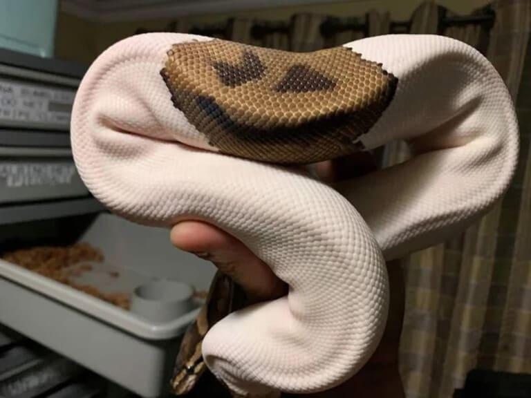 Чешуя змеи