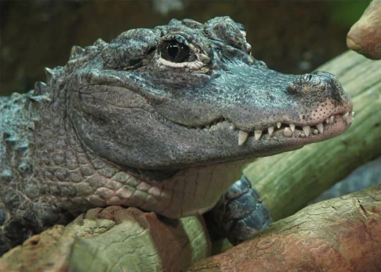 детенышей аллигатора