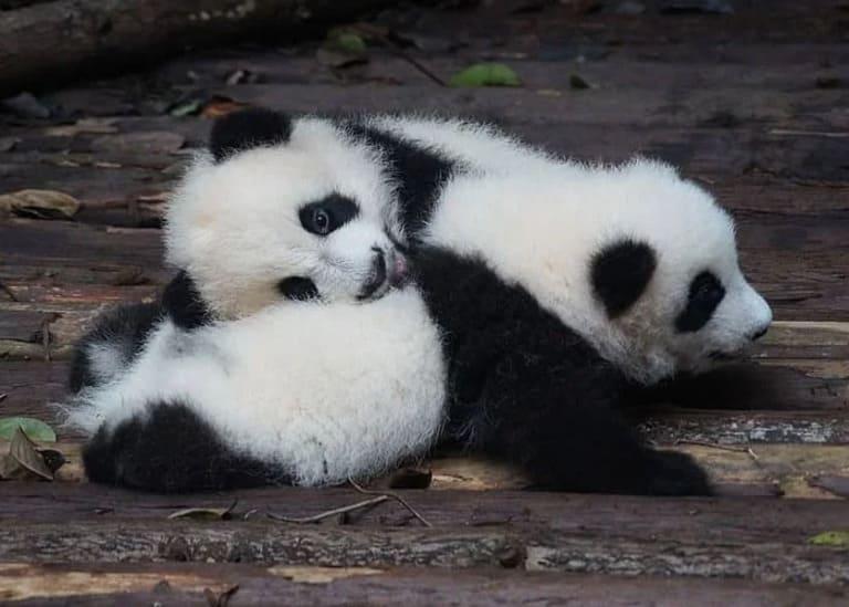 у панд рождаются близнецы
