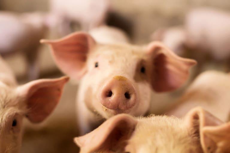 запрещает называть свинью именем Наполеон